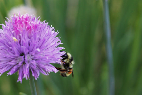 Chive flower with bee