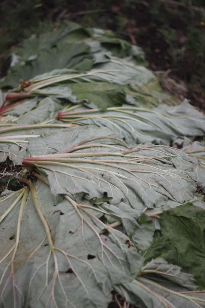 Kale Leaves mulching garden bed