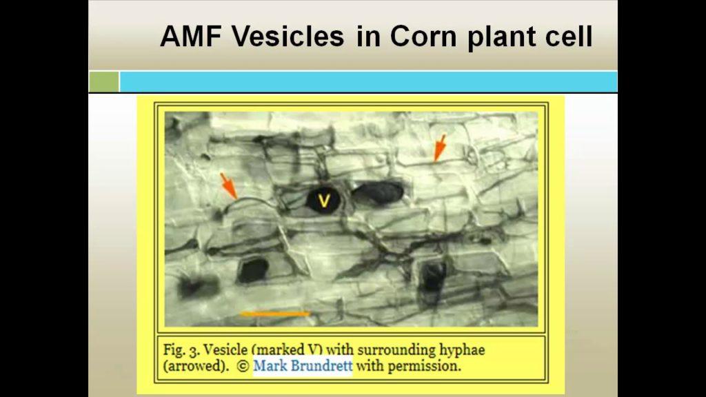 Enhancing Mycorrhizae And Metarhizium Fungus